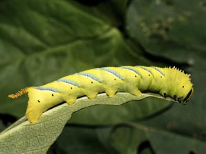 Death's-head Hawk-moth Caterpillar (credit: David G. Green/Butterfly Conservation).JPG