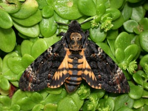 Death's-head Hawk-moth (credit: Leslie J. Hill/Butterfly Conservation)