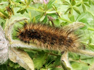 Garden Tiger Caterpillar (credit: David G. Green/Butterfly Conservation)