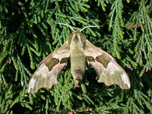 Lime Hawk-moth (credit Leslie J. Hill-Butterfly Conservation)