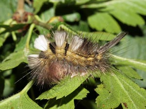 Pale Tussock Caterpillar (credit: David G. Green/Butterfly Conservation)