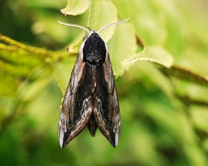 Privet Hawk-moth