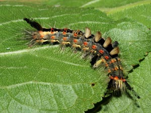 Vapourer Caterpillar (credit: David G. Green/Butterfly Conservation)